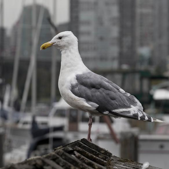 False creek seagull